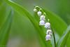 Lily of the Valley (H. Eisenreich) Tags: flower nature toxic natur hans fujifilm blume lilyofthevalley naturpark giftig maiglöckchen xt1 eisenreich greenbeautyforlife