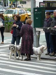 Woman with dogs (skumroffe) Tags: street nyc newyorkcity people woman usa newyork dogs crossing unitedstates folk manhattan candid gata hundar mnniskor vergngsstlle kvinna
