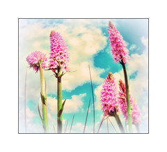 """Wild """"Orchid"""" Flower (Missy Jussy) Tags: pink flowers sky clouds canon landscape blossom wildlife lancashire breeze wildflower rochdale canonpowershotsx60"""
