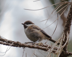 Chestnut-backed Chicadee (Tom Clifton) Tags: pointlobos birding northshore chickadee chestnutbackedchicakee cbch