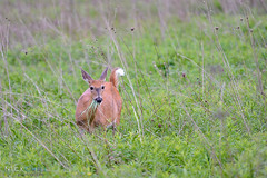 Munching White-tail (Nick Chill Photography) Tags: nature animal fauna wildlife deer animalia whitetail parksandrecreation stockimage communityprairie