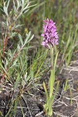photo 2 (luka116) Tags: fleur suisse juillet valais dactylorhiza 2016 dactylorhizaincarnata derborence orchidaces