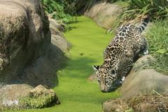 2016-05-27-0088 (bzd1) Tags: animals cats jaguar roofdieren animal mammal carnivore felidae panthera pantheraonca nature zookrefeld