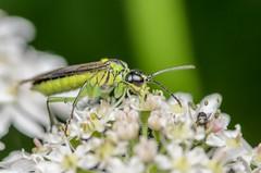 Sawfly (Rhogogaster viridis) (stephensmith54831) Tags: macro hymenoptera sawfly symphyta tenthredinidae sbr200 rhogogasterviridis tokina100mm d7000