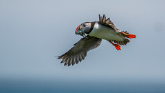 Coming in hot (Wizmatt) Tags: sea fish bird matt photography islands coast flying wings sand wildlife flight puffin farne eels seabird bif canon100400 arctica fratercula flyng wisby canon70d