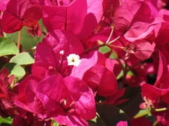 White Bougainvillea Bloom (maorlando - God keeps me as I lean on Him!!) Tags: plant flower bougainvillea