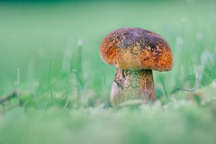 happy mushroom day (Das StadtKind) Tags: mushroom pilz bokeh bokehlicious bavaria schrfentiefe stadtkind sonya7 sony sonyilce7 smoothbokeh silkybokeh samyang2135 walimexpro1352 dof depthoffield kempten germany green grn europe shallowdepthoffield pflanze plant