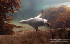 DSC_8300 (slamto) Tags: australia sydneyaquarium sydneysealifeaquarium seal