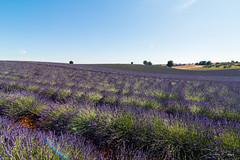 Valensole II. (Tristan K.) Tags: valensole lavande lavandes lavender flower flowers summer purple fields provence france lines bluesky sun été violet champs azur alpesdehauteprovence 04