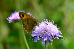 Meadow Brown ... Maniola jutina (AndyorDij) Tags: meadowbrownbutterfly meadowbrown maniolajurtina empingham england rutland uk unitedkingdom 2016 summer plants gardens flowers butterfly insects insect