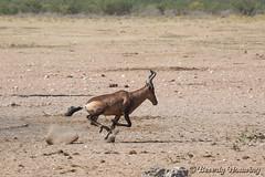128-Etosha_167 copy (Beverly Houwing) Tags: africa desert run namibia gallop dolomite etoshanationalpark redhartbeest