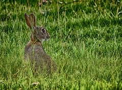 BRIGHT EYES (gazza294) Tags: rabbit flicker flickr flckr flkr gazza294 garymargetts