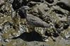 Rhinoplasty (martytdx) Tags: sanfrancisco ca birds lifelist birding july hayward curlew longbilledcurlew shorebird numenius numeniusamericanus scolopacidae haywardregionalshoreline