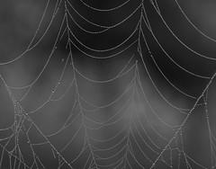 strings of pearls (Christa Farrar) Tags: spider webs