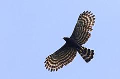 Black Hawk-Eagle - gavião-pega-macaco - Spizaetus tyrannus