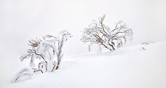 ll (two) (Jay Daley) Tags: mounthotham snowgums trees snow winter nikon d810
