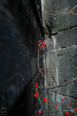 The desire for life... (Madija~) Tags: nikon d70 berries berry dark corner rojo red life stone cold shine alive