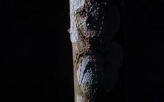 Tamopsis light (dustaway) Tags: arthropoda arachnida araneae araneomorphae australianspiders rotarypark rainforest lismore northernrivers nsw nature australia hersiliidae tamopsis longspinneretbarkspider rprr spinne rotary park reserve rotaryparkrainforestreserve