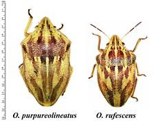 Odontotarsus purpureolineatus vs Odontotarsus rufescens (heteropteran) Tags: h hemiptera heteroptera scutelleridae turkey trkiye true bug bcek beettle odontotarsus purpureolineatus rufescens contrasting differences