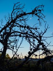 Moon at sunset. (Ethan Cheng) Tags: trees olympus sunset mzuikodigital25mmf18 sky epl7 grandtetonnationalpark dusk wyoming grandtetonnp pen penlite