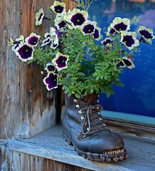 Mrren Shilthorn 27-28.08.2016 (Yves.Henchoz) Tags: suisse switzerland swiss svizzera montagne nature nikond4 lesalpes jamesbond berne chaussure fleurs sourire
