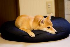 Yotsuba365 Day93 (Tetsuo41) Tags: dog shibainu yotsuba