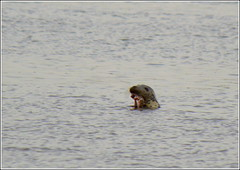 ( Seal ) Pickering Pastures Local Nature Reserve,Halebank 20th September 2016 (Cassini2008) Tags: pickeringpastureslocalnaturereserve halebank rivermersey nature wildlife seal