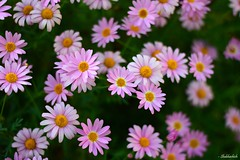 Bokeh of Aster.. (Shubhashish Chakrabarty) Tags: pink flower japan star bokeh 日本 nikkor 花 kanagawa 植物 aster ぼけ 神奈川 ピンク sagamino