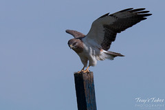 Swainson's Hawk landing sequence - 10 of 13.
