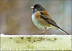 sparrow 2 (tesseract33) Tags: world travel light colour bird art nature birds outside outdoors nikon sparrow nikondigital nikond300 tesseract33 peterlangphotography squamishphotographer
