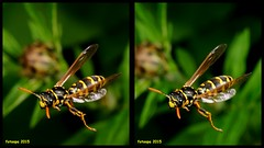 3D cross-view L40_1009_3d (fotoopa) Tags: macro inflight 3d insects laser highspeed flyinginsects highspeedflash 3dphotography vliegende insectsinflight vliegend 3dmacro highspeedcapture picturesinflight highspeedmacro af10528dmicro fotoopa inflightinsects lasercontrol lasertriggered vliegendeinsecten laserdetection 3dinsects 3dinflight lasercamera flyinghighspeedinsects highspeedlaserdetector irlaserdetection multiplelaserdetection insectenfotografie vliegendebeestjes fotosvliegendeinsecten picturesinflightinsects