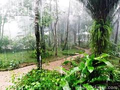 Hickatee in the rain (Dis da fi we (was Hickatee)) Tags: gardens forest garden rainforest honeymoon belize wildlife culture toledo jungle puntagorda hickatee hickateecottages hickateebelize hickateepuntagorda