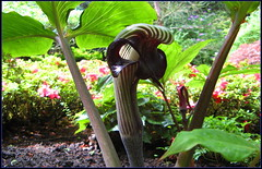 Jack in the Pulpit (> Pinoy) Tags: travel flowers canada flower color nature floral colors beautiful beauty gardens canon catchycolors garden landscapes petals spring flora travels pretty britishcolumbia canadian petal explore vancouverisland coastal bloom waters fountains blooms butchartgardens florals tours bushes contrasts recent travelers wonders butchart attractions touristattractions nationalgeographic canonpowershot worldtravel destinations mayflowers bushgardens butchardgardens flowerpics placestosee canonphotography prettypetals placestovisit butchardgarden bloomig flowerimages johnduesbury