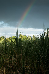 20150521_3426_7D2-56 Rainbow over sugar cane field (johnstewartnz) Tags: fiji canon eos mba rainbow vitilevu ba 1785mm 1785 efs1785mmf456isusm sugarcane fijiislands efs1785 apsc 7d2 7dmarkii canon7dmarkii rarawai