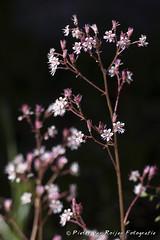 London Pride (Saxifraga  urbium) (PvRFotografie) Tags: flowers flower holland nature zeiss t nederland natuur hasselblad bloemen bloem carlzeiss kipon sonya900 sonnar150mmtf40cf