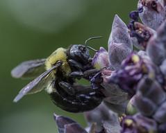 Bee_SAF1149 (sara97) Tags: bee copyright2016saraannefinke endangered flyinginsect insect missouri outdoors photobysaraannefinke pollinator saintlouis towergrovepark