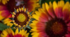 Gaillardia / hbw! (Rainer Fritz) Tags: flower natur gaillardia blte garten hbw kakardenblume