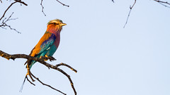 Lilac-breasted roller (DrScottA) Tags: coraciascaudatus africa southafrica safari bird kruger timbavatigamereserve timbavati