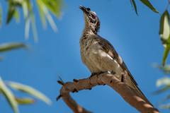 Silver-crowned Friarbird Nitmiluk DSC_8903 (BlueberryAsh) Tags: bird nikon nitmiluk australianbird silvercrownedfriarbird nikond750tamron150600
