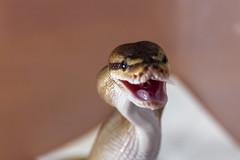 Hungry (Malln) Tags: nature mouse feeding snake comida culebra feedingtime vibor