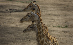 Three Sisters (philnewton928) Tags: africa wild nature animal southafrica mammal outdoors nikon pattern natural outdoor wildlife safari giraffes giraffe animalplanet krugernationalpark kruger satara giraffacamelopardalisgiraffa femalegiraffe d7200 nikond7200