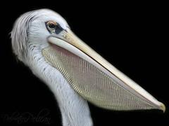 The Dalmatian pelican (Pelecanus crispus) (Mel's Looking Glass) Tags: the dalmatian pelican pelecanus crispus bird inmature