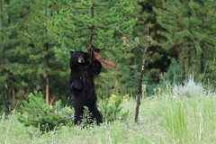 Bear Back Rub (bbosica20) Tags: bears blackbear bearsow blackbearsow animal animals nature wildlife yellowstone yellowstonenationalpark