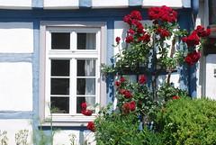 Danket Gott mit Schalle (amras_de) Tags: window rose ventana fenster logs rosa roos finestra janela rosen gl rs rozen fentre aken rheingau trelia eltville vindue gluggi fachwerk okno vindu prozor truss venster roser fnster vakwerk arrosa rozes ikkuna langas vrtnica ablak pencere fenestro leiho fereastra celosa ruusut gelosia trandafir treillis rza rua rzsa rozo roe windae rue fuinneog fackverk vindauge travaturareticolare rosslktet kratownica fnster fenstra
