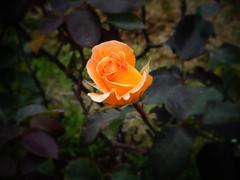 DSC09778 (Mirnajsb) Tags: chile rosa jardn quilpue enfoque