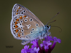 Argus Bleu / Common Blue / polyommatus icarus (www.yravaryphotoart.com) Tags: flower macro fleur wow butterfly insect bokeh papillon insecte commonblue polyommatusicarus profondeurdechamp argusbleu azurdelabugrane canoneos7d azurcommun canonef100mmf28lmacroisusm yravaryphotoart yravaryphotoartcom