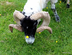 Buttercup the Ram (mootzie) Tags: ram horns curly buttercups flowers yellow croft lewis outer hebrides blackfaced wildlife