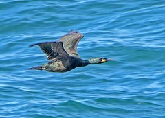 European Shag - Phalacrocorax aristotelis (DAJ Natural Images) Tags: nature wildlife bird birds birding birdwatching seabird cormorant shag portland dorset nikon tamron