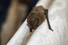 Pipestrelle Bat (Darren Cordingley) Tags: bats wildlife nature nocturnal insects moths pipestrellebat nikon somerset mammals