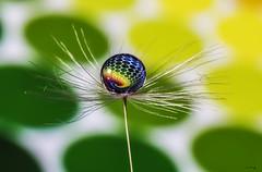 Dots (Anne Rusten) Tags: nikon refraction macro droplet dandelionseed dandelion dandelionart dof artistic art indoor